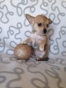 Holiday Special! Chihuahua Puppies! Sale Price Downtown-West End Greater Vancouver Area image 2