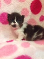 2 PERSIANS KITTENS FOR RESERVATION