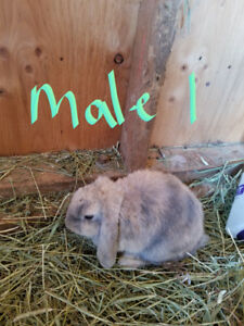 Dutch Lop-Earred Rabbits (Breeding Pairs available)
