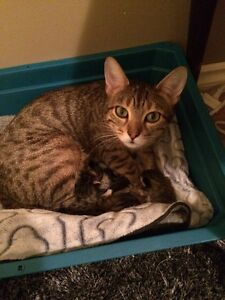 Bengal cross intact female mother cat for sale