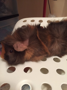 Selling male Abyssinian guinea pig