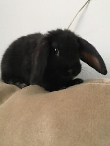 * BABY 4 MONTH OLD BUNNY NEEDS A FOREVER PERMANENT HOME  *