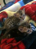 Bengals kittens ready for mid August