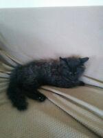 chaton femelle