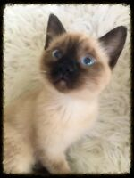 Cross Eyed Seal Point Siamese Girl - w/ Shots - Will Deliver