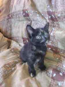 Calico and black and white kittens for sale
