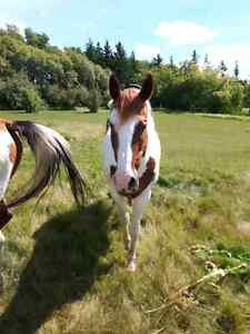 Horse more for companion not broke well only hollered bridled l