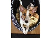Jack Russell, female, 1 year old