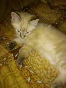 White and ( whitish brownish)  kittens for sale
