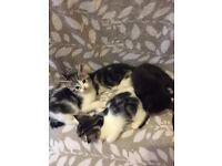 4 Beautiful Male Kittens looking for Loving New Home Grey White Black