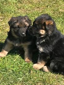 Pure Bred German Shepherd Pups