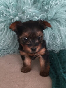 Yorkie Puppy - Adorable Teacup Yorkshire Terrier
