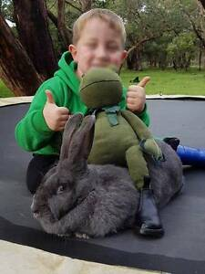 Flemish Giants - Mature 5-6+kg GREAT PETS -Jodie's Giant Bunnies Melbourne Airport Hume Area Preview
