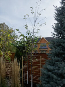 Mature elm trees for sale