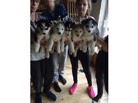 Siberian husky x Alaskan malamute puppies for sale