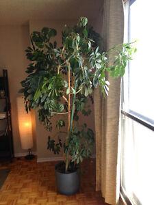 Grande plante d'intérieur (Octophylla Schefflera)