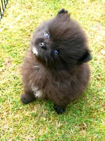 Xs Pomeranian