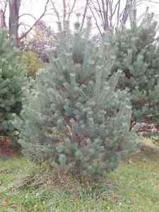 Christmas Trees, Scots Pine, cut-your-own