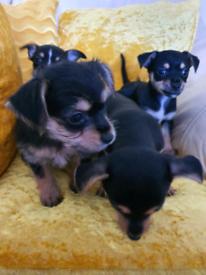 💖SUPER CUTE CHORKIE PUPPIES!💖
