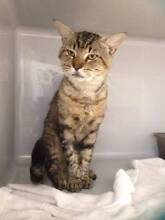 RSPCA LOST CAT -  FOSTER CAT ID897629 - INDOOROOPILLY Indooroopilly Brisbane South West Preview