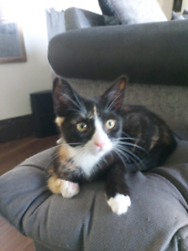 Young female kitten for sale