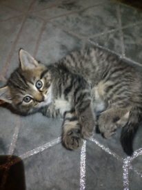 2 x 8 week old kittens for sale