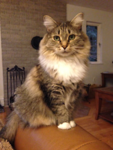 Lost cat in Windsor Junction (Fall River)