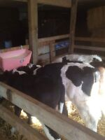 300 pound bull calves for sale milk fed.