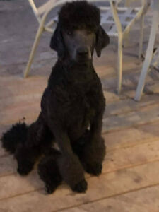 Guardian Home Required 2.5 Yr old Black Standard Poodle