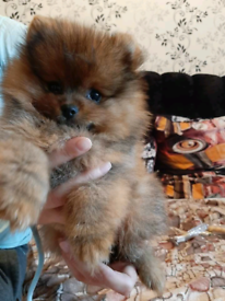 Puppies In Bromley London Dogs Puppies For Sale Gumtree