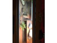 Bearded dragon for sale with 4ft vivarium