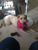 Year old Goldendoodle
