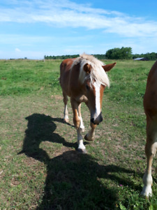 3 yearling stud colts for sale