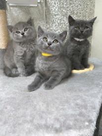 Beautiful BSH kittens