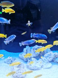 Yellow labs & rusty juveniles + saulosi adult males.