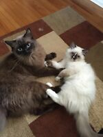 Whispurr Lane Ragdolls Kittens Available