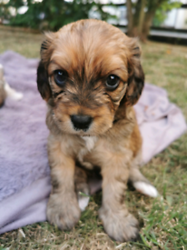 Cavapoo Puppies *only 3 left* (CavalierX Toy Poodle)