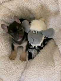 French bulldog pups for sale chocolate and tan