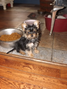 2 adorable male Yorkshire Terrier puppies & Labradoodle adult