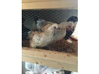 Young Goldtop Roosters FREE (chickens, poultry, birds)