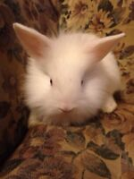 Lionhead babies only 3 left! Now taking deposits !