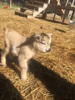 Baby Pygmy Goats for Sale!