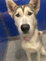 SKY female husky for adoption - husky pour adoption