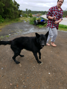 German Shepherds,Rottweilers and English Stafford