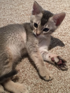 Ocicat and Abyssinian kittens Gorgeous ! (ocicats, abys, bengal