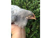 Lavender Leghorn Chickens