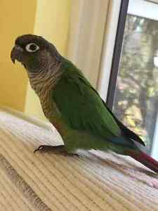 Sleek Green Cheeked Conure - comes with cage!