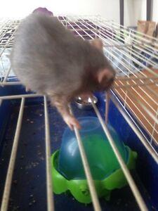 rat a donner