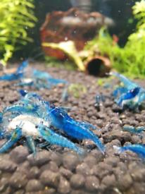 Neocaridina and Caridina Shrimps Tropical aquarium shrimps