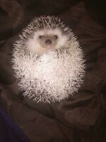 2 Female Hedgehogs for sale